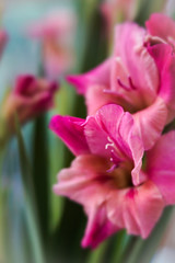 Glad!! (judy dean) Tags: judydean 2018 gladioli lensbaby flower pretty colour