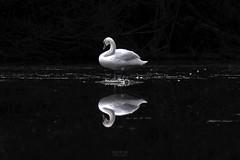 Mirror (mostodol) Tags: mirror miroir eau water etang swan cygne oiseau bird seineport seineetmarne iledefrance france french fuji fujifilm xt20 nature