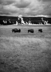 Yellowstone (skotttt) Tags: buffalo bison yellowstone national park geyser hot spring