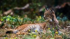 Lynx lynx (P van zeijst) Tags: nikon lynx d750 200500