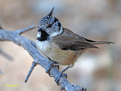 Herrerillo capuchino  (Lophophanes cristatus) (1) (eb3alfmiguel) Tags: aves pájaros passeriformes paridae herrerillo capuchino lophophanes cristatus