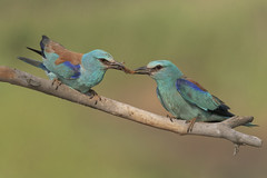 Ghiandaie marine (Ricky_71) Tags: european roller summer colors wood nikon