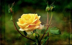 Yellow rose (mamietherese1) Tags: magicunicornverybest untouchabledream alittlebeauty coth coth5 world100f ngc