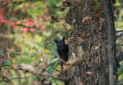 Peek a boo (DCHall) Tags: blacksquirrel norwoodontario norwoodmillpondforesttrail fall winteriscoming nature snapseed canon 40d eos naturewatcher naturelovers trees black dchall