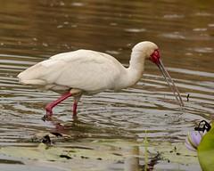 African spoonbill in lilly pond (Nagarjun) Tags: africanspoonbill bird avifauna birdlife lake wildlife nairobinationalpark kenya plataleaalba