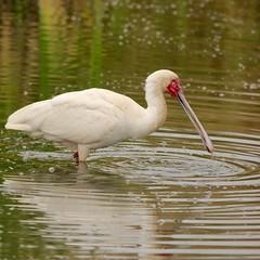 Dripping water (Nagarjun) Tags: africanspoonbill bird avifauna birdlife lake wildlife nairobinationalpark kenya plataleaalba