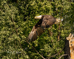 Along the Nenana River (Visions by Vincent) Tags: eagle bird alaska fantasticnature
