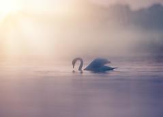 'Drifting' (Jonathan Casey) Tags: swan mist sun lake nikon d850 400mm f28 vr
