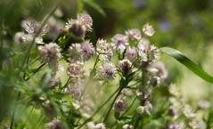 (KangaRo) Tags: nature green flowers nikon white softfocus bokeh leicester