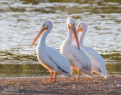 White Pelicans (jklewis4) Tags: americanwhitepelican dingdarlingnwr florida ftmyers jndingdarlingnationalwildliferefuge pelecanuserythrorhynchos sanibelisland bird birds shorebird white yelloworangebill