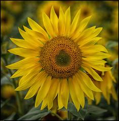Sunflower (paullangton) Tags: sun flower field nature green yellow countryside canon seed petal hertfordshire natural park light summer