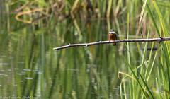 9Q6A3078 (2) (Alinbidford) Tags: alancurtis brandonmarsh kingfisher nature wildbirds wildlife