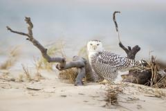 Snowy on the Beach.. (DTT67) Tags: snowyowl owl winter bird raptor beach wildlife naturephotography nature canon 500mmii 1dxmkii 14xtciii