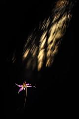 Pluie de lumière. (SweeP_64) Tags: erythrone dent de chien erythronium denscanis macro proxi nature fleur flower clair obscur cyrille masseys 6ril