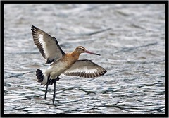 BLACK TAILED GODWIT (PHOTOGRAPHY STARTS WITH P.H.) Tags: black tailed godwit south efford marsh devon nikon d5oo 500mm afs vr teleconverter