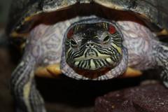 Turtle Greetings (excellentzebu1050) Tags: turtle animal farm closeup animalportraits coth5 sunrays5