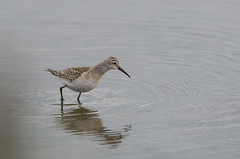 Curlew Sandpiper Titchwell RSPB 14-09-2018-3550 (seandarcy2) Tags: birds wild wildlife waders sandpiper curlew curlewsandpiper norfolk uk freshmarsh