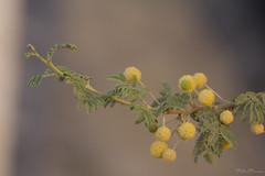 Acacia in fiore (Milo Manica) Tags: acacianilotica acacia fiore flower leaves foglie albero tree israele palestina canon eos 60d 70300 tamron