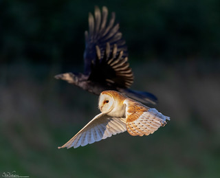 Barn Owl being shadowed by a Rook