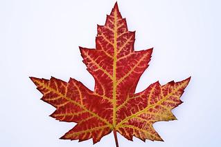 Leaf front (IMG_9194)