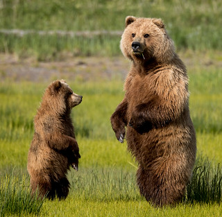 2018 Lake Clark National Park- Bears Standing Up (26)