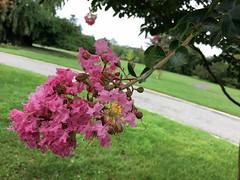 Cylburn Arboretum ~ Crepe Myrtle blossom (karma (Karen)) Tags: baltimore maryland cylburnarboretum parks trees crepemyrtle blossoms dof bokeh hbw