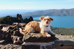 Dog taking a pose at Paulina Peak #1 (daveynin) Tags: lake caldera newberry nps oregon dog mammal