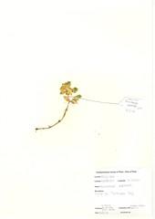 NBGW6046 Honckenya peploides 12-6-10 (nationalbotanicgardenofwales) Tags: honckenya peploides