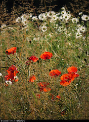20150712_02 Red poppies in yellow grass | Alvena Lindaräng, Gotland, Sweden (ratexla) Tags: ratexlasgotlandtrip2015 alvenalindaräng gotland 12jul2015 2015 canonpowershotsx50hs sweden sverige scandinavia scandinavian europe beautiful earth tellus photophotospicturepicturesimageimagesfotofotonbildbilder europaeuropean summer travel travelling traveling norden nordiccountries roadtrip journey vacation holiday semester resaresor nature ontheroad sommar landscape scenery scenic flower flowers blomma blommor plant plants pretty cool biology botany wild vild vilda life organism växt växter red röd röda poppy poppies vallmo ratexla almostanything unlimitedphotos catchycolorsred favorite