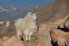 Mountain Goat (fascinationwildlife) Tags: animal mammal wild wildlife nature natur rock rocky morning mountains colorado denver mountain goat schneeziege berge summer usa america summit mount evans