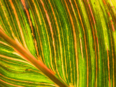 Nature painting leaves with colorful stripes. (vickilw) Tags: thegetty 7dos stripestartanschecks colourful thursday leaf 6ws