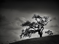 Metcalf Oaks (StefanB) Tags: usa 2018 california em5 outdoor tree treescape geotag 45200mm sanjose cloud mood