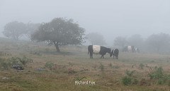 Mother | Nature (http://www.richardfoxphotography.com) Tags: cow cows cattle beltedgalloways dartmoornationalpark dartmoor herd livestock mist fog foggy emsworthymire mizzle outdoors nature
