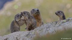 IMG_2410_DxO.jpg (Lumières Alpines) Tags: didier bonfils goodson73 marmottes lautaret faune alpes france