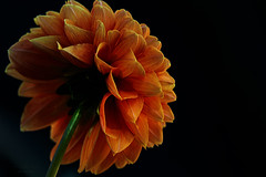 orange glow (mariola aga OFF) Tags: flower orange dahlia petals closeup blackbackground alittlebeauty coth coth5 naturethroughthelens