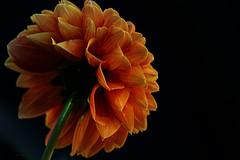 orange glow (mariola aga) Tags: flower orange dahlia petals closeup blackbackground alittlebeauty coth coth5 naturethroughthelens