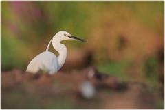 Aigrette garzette - Little egret (Egretta garzetta) (Man - Photo Nature) Tags: aigrette egret bird aves echassier littleegret egrettagarzetta