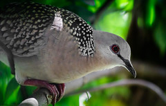 'Spotted' Dove (mikbanerjee) Tags: dove spotted garden canon1300d canondslr canon mikbanerjee india indian bird birdphotography birds animalphotography animal wildlife outdoors nopeople flickr green nature lightroom