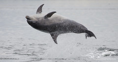 BND Dolphin (back breach)-2216 (David Jefferson Photo) Tags: bottlenose dolphin flight breach triple chanonry point fortrose inverness cetacean dolphins whales marine sealife sea ocean highlands scotland wildlife moray firth