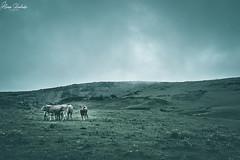 Lagos de Covadonga XV (Álvaro Hurtado) Tags: nikon d7200 sigma naturaleza nature paisaje landscape asturias españa spain oviedo monte mount montaña mountain lagos lakes covadonga picos europa ercina niebla fog mist vaca cow agua water nubes clouds