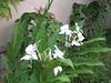 Butterfly Ginger [Hedychium coronarium] (gatorbait1962) Tags: butterflyginger gingerlily hedychiumcoronarium white flower bloom fragrant