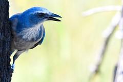 Florida Scrub Jay (bmasdeu) Tags: scrub jay blue bird endangered species closeup macro tropical florida