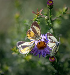 Times three (nwitthuhn) Tags: daintysulphur three butterfly aster dorsalview macro