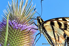 Swallowtail On Thistle (Gary Grossman) Tags: thistle spines sticker butterly flower swallowtail beauty ridgefield nature summer macro garygrossmanphotography ridgefieldnationalwildliferefuge closeup macrophotography
