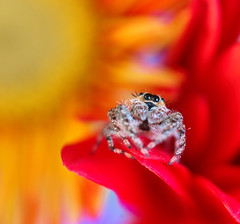Contemplation (dianne_stankiewicz) Tags: floral flowers contemplation nature wildlife spider jumpingspider texture color vibrant bright orange red yellow purple saturated saturation gold macro