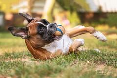 Untitled (frank3000de) Tags: hundefotografie panasonic boxerdog deutscherboxer boxer