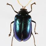 Aplosonyx albicornis - Chrysomelidae  - Poring - Sabah - BORNEO thumbnail