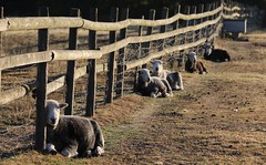 Happy Fence Friday... (Kez West) Tags: sheep fence hff fencefriday farm ewe morning sunshine herdwick countryside rural field august