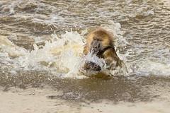 Baboon bath time, Yorkshire Wildlife Park (Phil D 245) Tags: