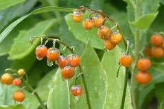 Keine Liebesäpfel- no red candy apples (Anke knipst) Tags: maiglöckchen rot red beeren berries lilyofthevalley regen rain samen seed
